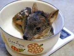 世界最小品种鹿诞生:成年时体长可达80厘米 体重可达9至10千克