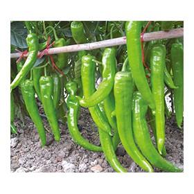 宁德牛角椒种子 长尖椒种子厂家