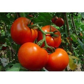 临沧粉果西红柿种子批发 寿光种业 18765720716
