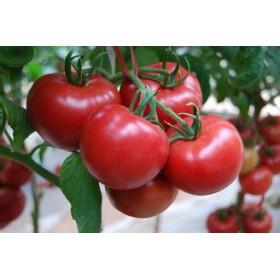 文山西红柿苗种子直销 寿光种子公司