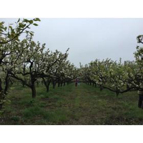 河北保定哪里有桃树苹果树杏树核桃树山楂树梨树价格合理包上车